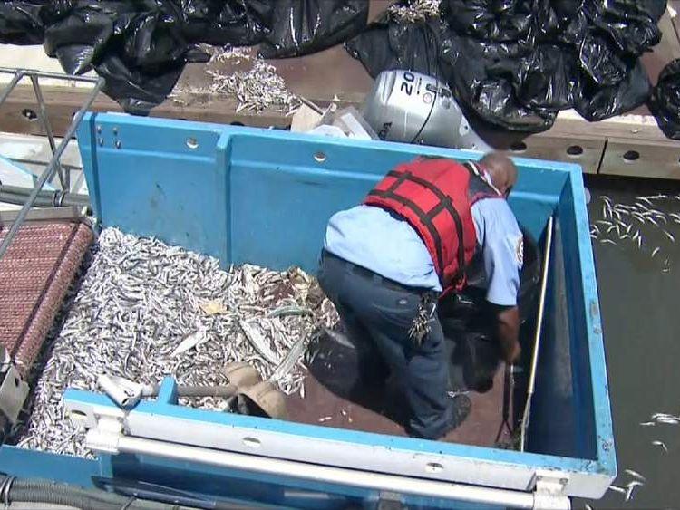 Dead Fish In Marina del Rey