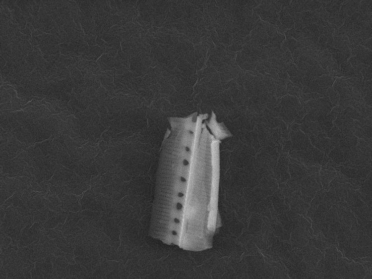 Diatom fragment