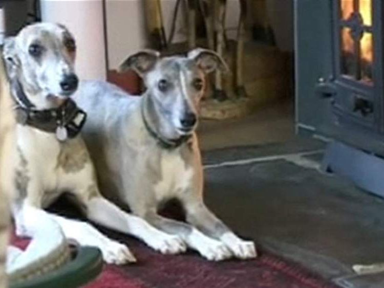 Two dogs with electric collars sitting by the fire