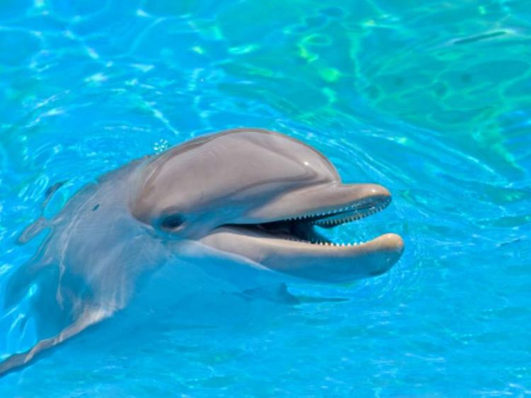A dolphin swimming in what looks like a pool