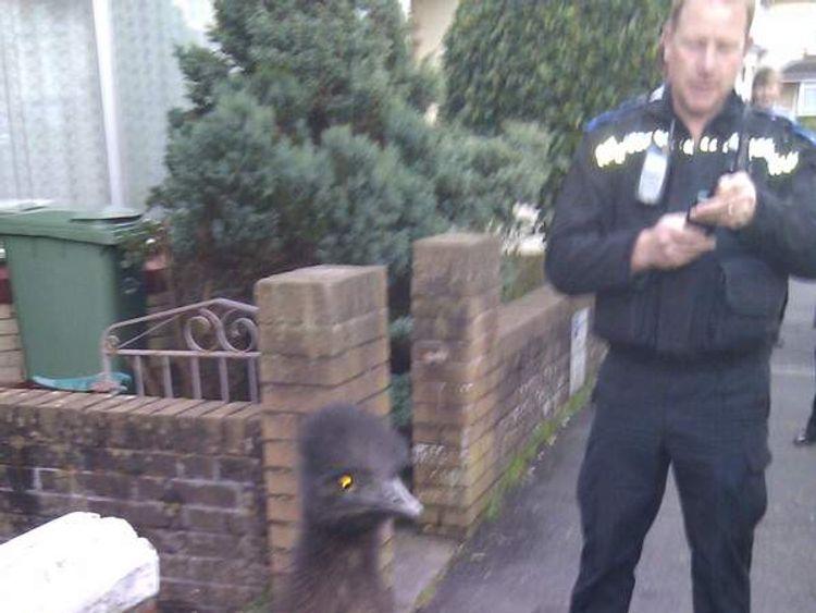 Escaped emu in North Devon (Picture from devon and Cornwall Police)