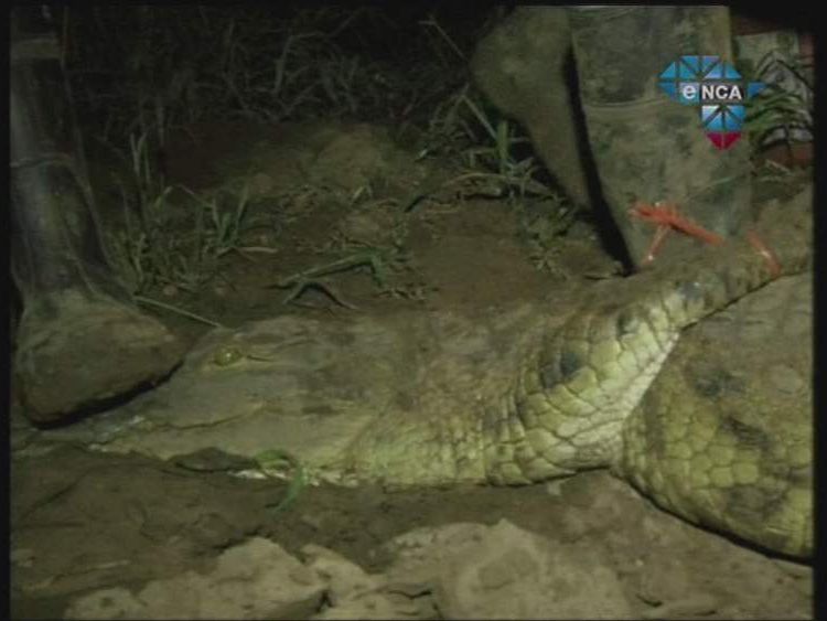 Crocodiles captured in South Africa