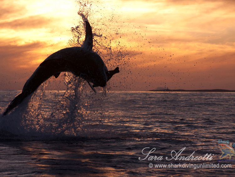 Great white sharks are struggling off the South African coast Pic: Sara Andreotti
