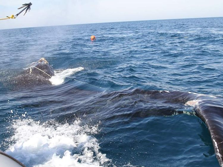 A whale caught in fishing lines off the coast of Georgia