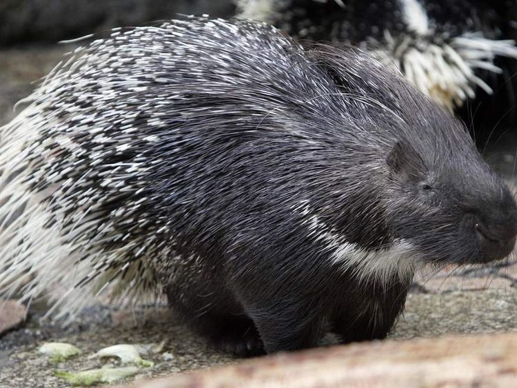 "A porcupine named ""Leon"" sits in its enc"