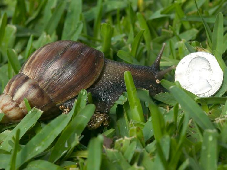 Giant African Land Snails Pose Danger To Health And Environment