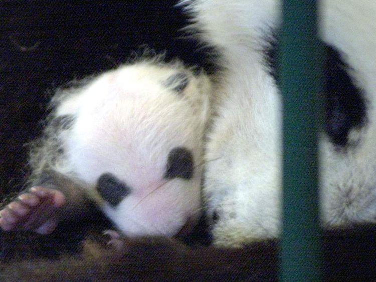 A one-month old panda cub at Chengdu breeding centre