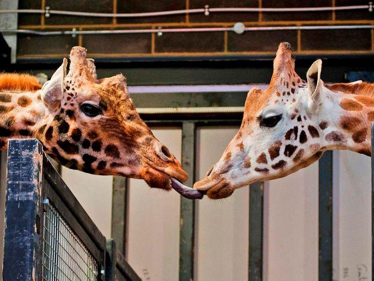 Tonda and Kismet Zufari Chessington World of Adventures
