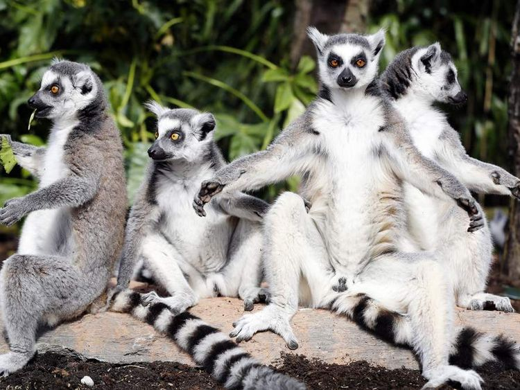 Ring-tailed lemurs from Madagascar