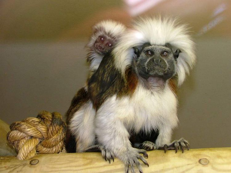 A mother and baby Cotton-top Tamarin