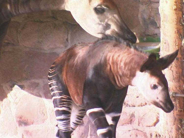 Chester Zoo's baby okapi