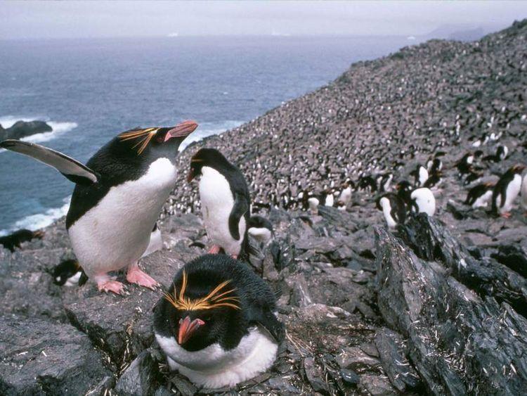 Macaroni penguins on South Georgia