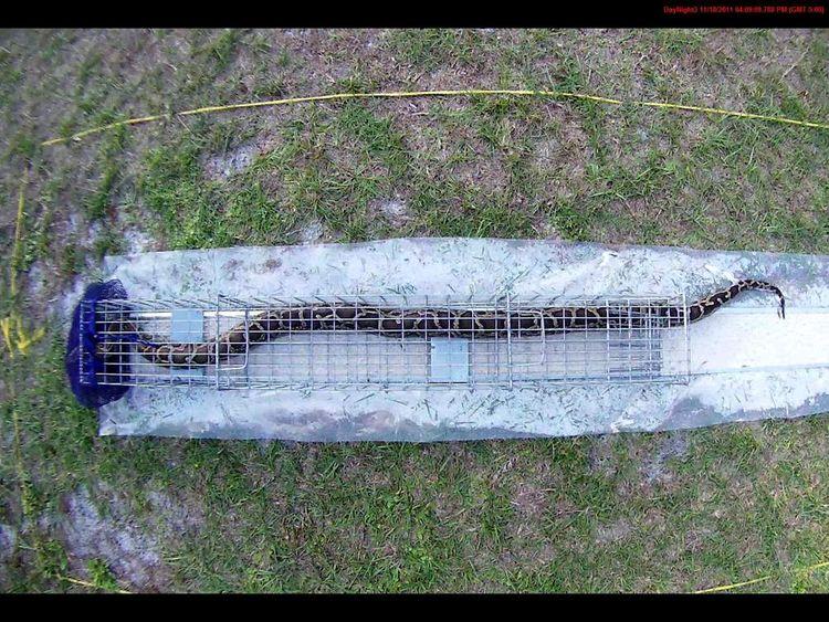 Python in trap. Credit USDA Wildlife Services