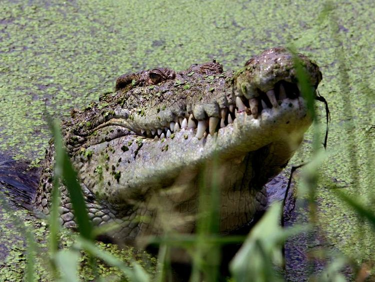 A crocodile in Darwin, Australia