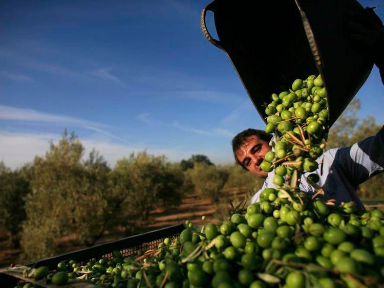 A worker empties out olives from a basket at an olive tree field in La Rinconada, Spain