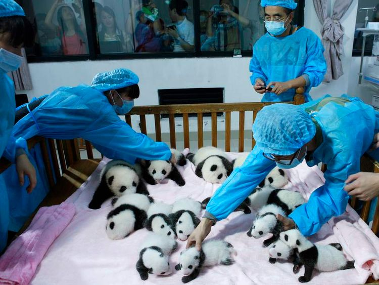 Breeders take care of giant panda cubs at Chengdu Research Base in China