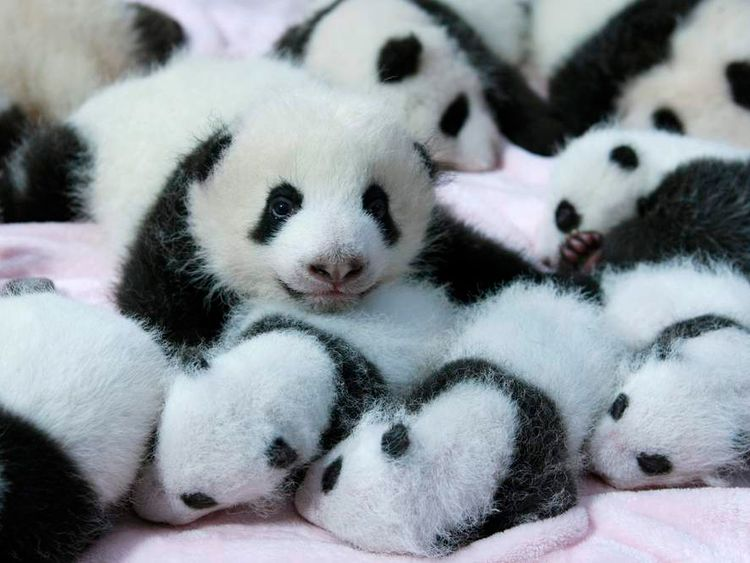 Close up of giant panda cubs lie in a crib at Chengdu Research Base in China