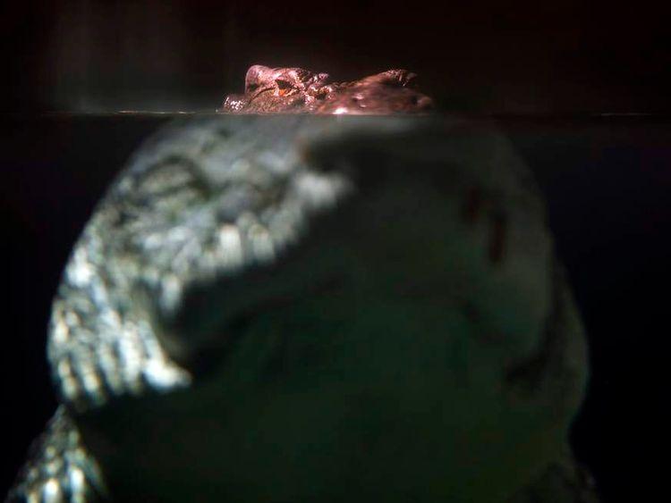 A crocodile in Sydney Aquarium