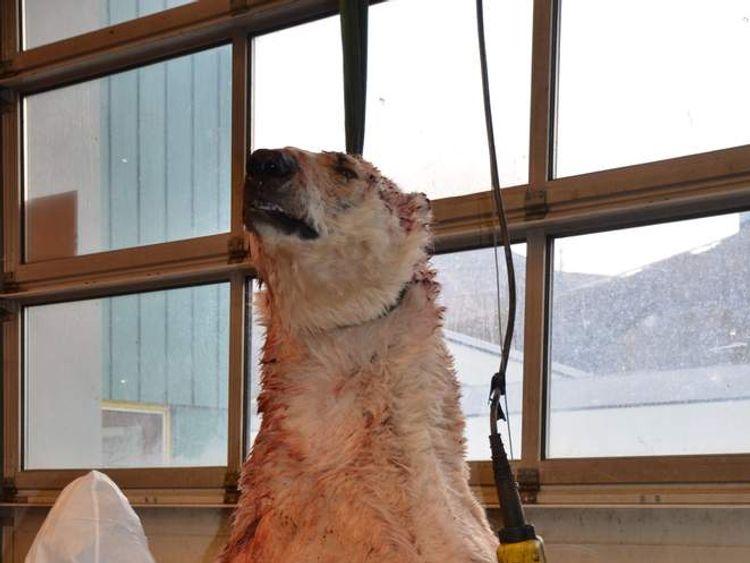 The polar bear that attacked Horatio Chapple