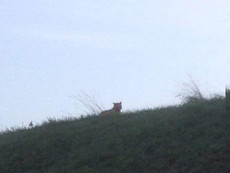 Tiger on the loose in Paris. Pic: Ville de Montevrain