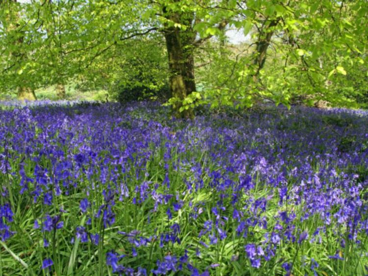 Bluebells in bloom in the May sunshine