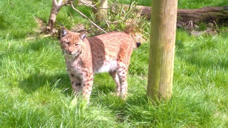 Operation To Hunt Down Missing Dartmoor Lynx | UK News | Sky News