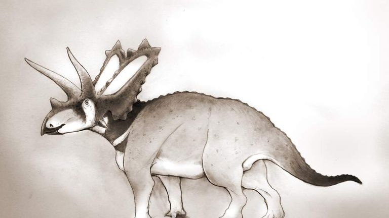 Handout photo issued by the University of Bath of Pentaceratops Aquilonius, a new species of dinosaur discovered by British paleontologist Dr Nick Longrich in a Canadian museum.