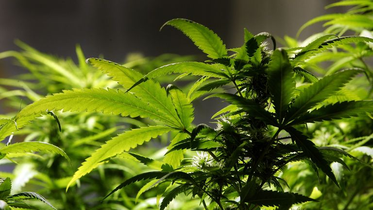 Cannabis may have been sold by the founders of Western civilisation