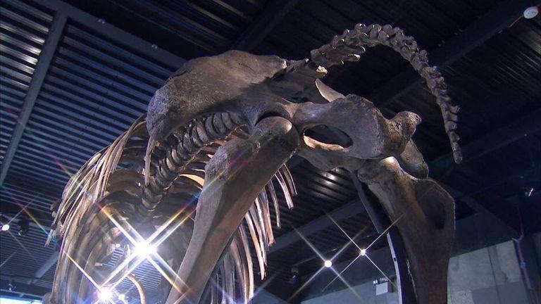 For Sale: Prehistoric Woolly Mammoth Skeleton | UK News