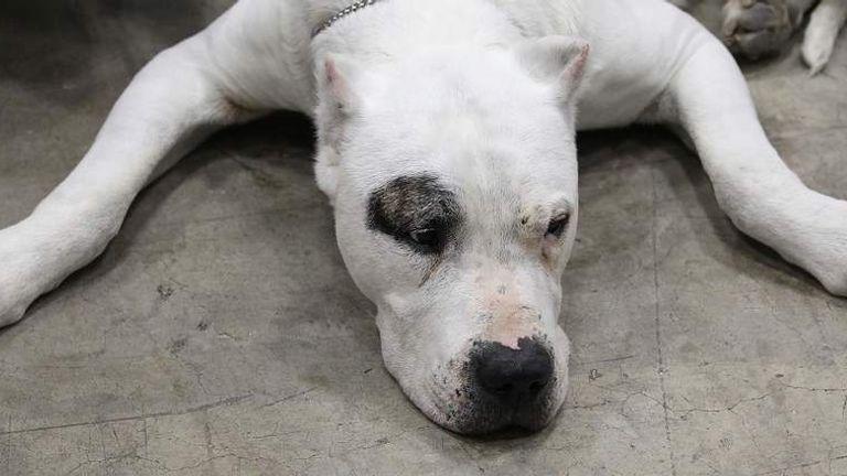 dangerous dog dogo argentino