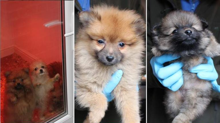 Gang Jailed For Selling Sick Or Dying Puppies Uk News Sky News