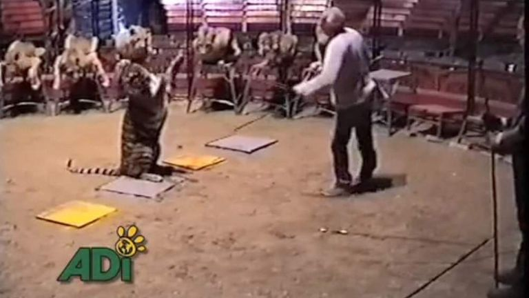 Animal Defenders International footage of a tiger being trained