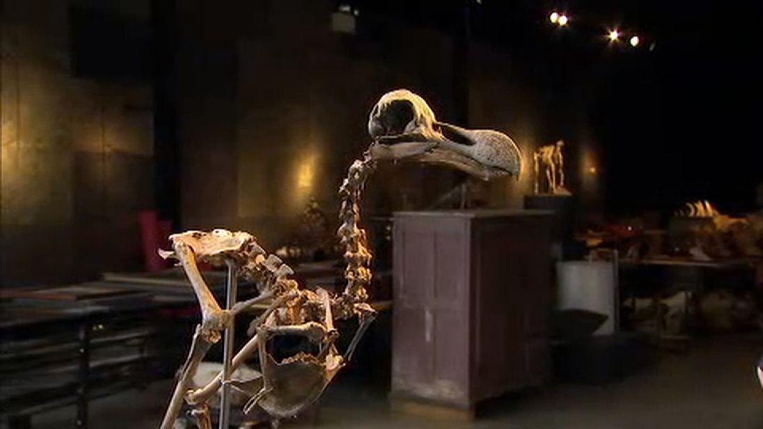 The Dodo skeleton is incredibly rare