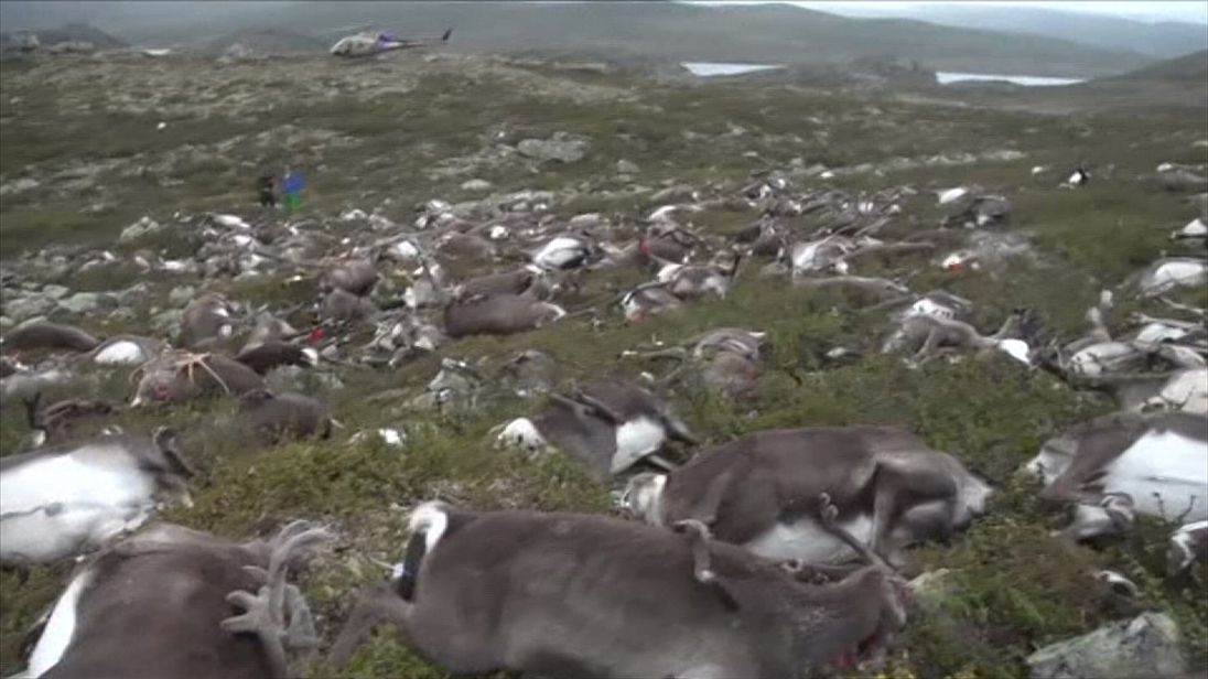 Hundreds of reindeer were killed by the lightning strike