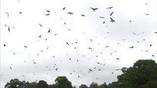 A flock of red kites in the skies of Mid Wales