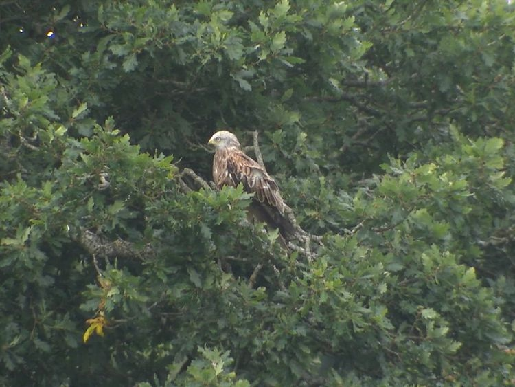 A red kite perched on a tree branch