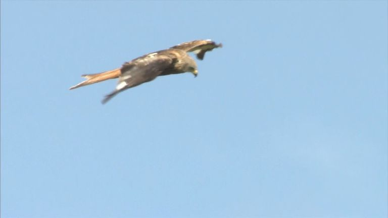 Red Kites have a wing span  of up to 66ins (170cm)