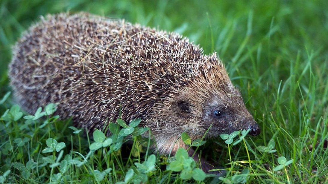 Hedgehogs are under threat in Britain