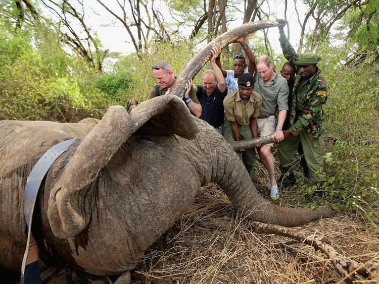 The Prince helps rangers to move a tranquilised bull elephant in Kenya
