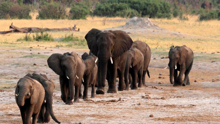 A herd of elephants walk past a watering hole in Hwange National Park, Zimbabwe, October 14, 2014. REUTERS/Philimon Bulawayo/File Photo