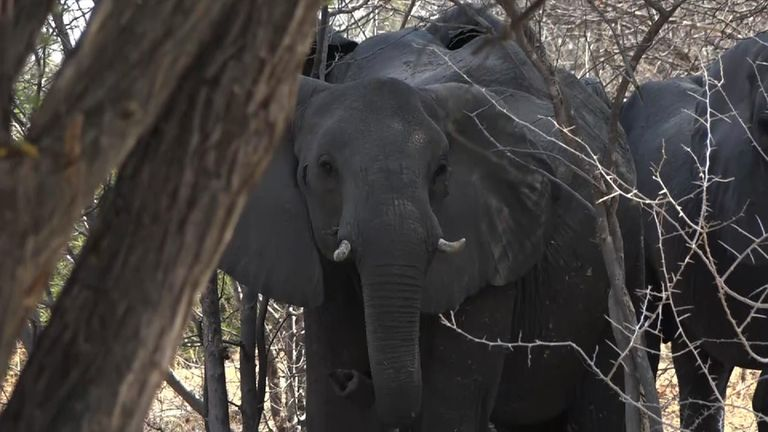 Elephants being hunted by a trophy hunter in Namibia