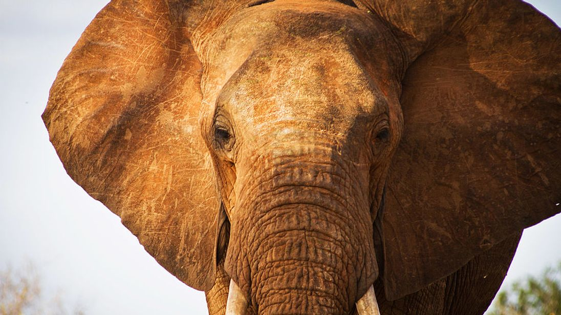 African elephants are under threat