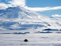 """A lone foraging emperor penguin """"toboggans"""" on its belly across the frozen Ross Sea, with the live volcano Mount Erebus in the background, off Ross Island, Antarctica, December 9, 2006. Picture taken December 9, 2006. REUTERS/Deborah Zabarenko (ANTARCTICA)"""
