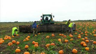 Czech labourers picking pumpkins from a field in Yorkshire