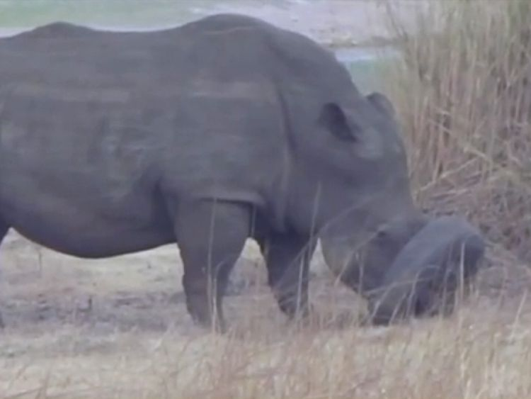 A white rhino that got trapped in a tyre before it was freed by vets