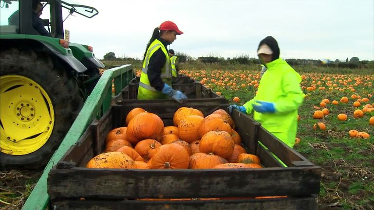 Czech labourers picking pumpkins from a field in Yorkshire