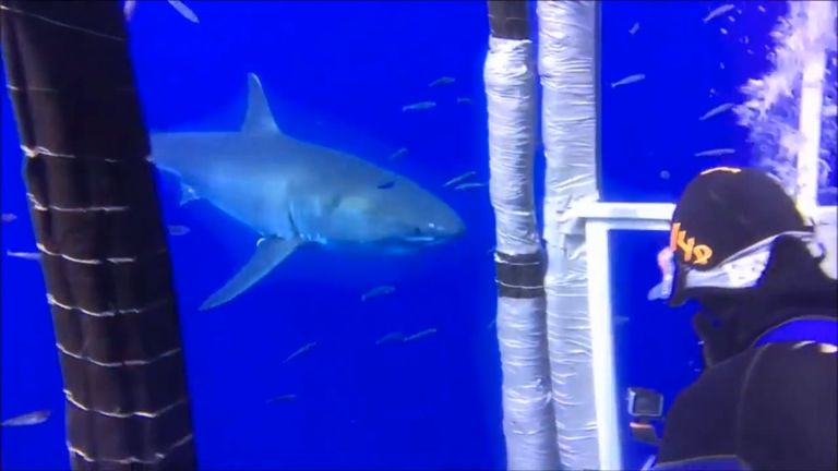 The shark circles divers moments before it breached the cage