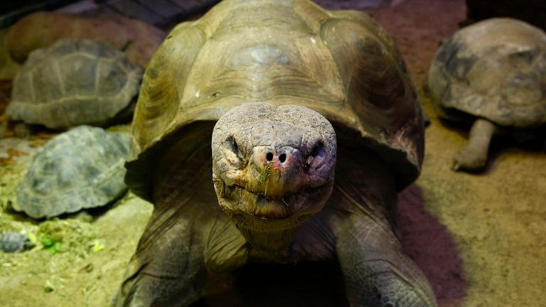 A Galapagos giant tortoise at Zurich Zoo in Germany