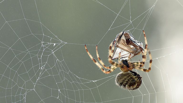 The garden spider Araneus Diadematus featured in  the research