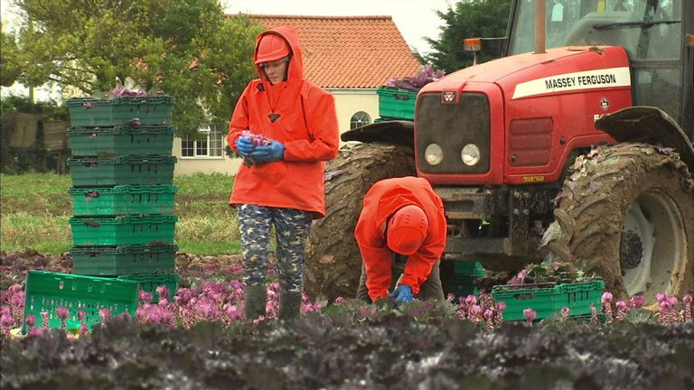Flower pickers near Boston in Lincolnshire